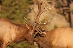 Alces de Bull que luchan cerca para arriba Foto de archivo libre de regalías