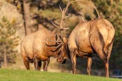 Alces de Bull que lutam pelo domínio Fotografia de Stock Royalty Free