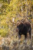 Alces de Bull Shiras no outono fotografia de stock royalty free