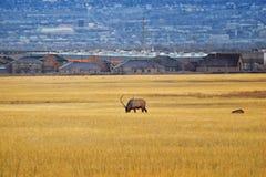 Alces de Bull su harén de la manada en la carretera de Baccus el Westside con la opinión el valle y Wasatch Front Rocky Mountains imagen de archivo libre de regalías