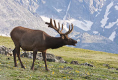 Alces de Colorado Bull Imagem de Stock Royalty Free