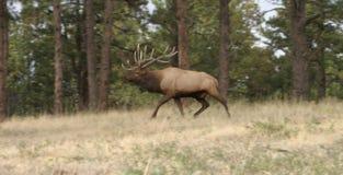 Alces de Colorado Bull en rodera fotos de archivo
