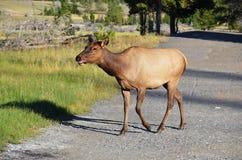 Alces de la vaca Fotos de archivo