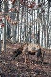 Alces de la vaca Imagen de archivo
