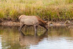 Alces de la vaca en el lago Imagen de archivo