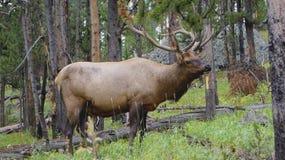 Alces de Montana; Perdido em Montana imagens de stock