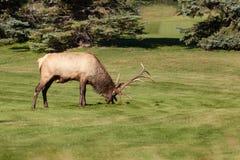 Alces de Rutting Bull fotografía de archivo libre de regalías