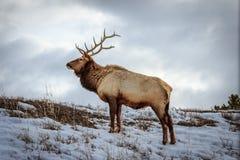 Alces de Yellowstone Bull imagem de stock
