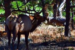 Alces debajo del árbol Imagen de archivo