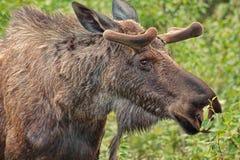 Alces do Alaskan do close-up imagens de stock