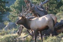 Alces do parque nacional de montanha rochosa foto de stock royalty free