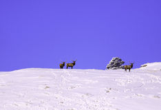 Alces do rebanho na neve fotografia de stock royalty free