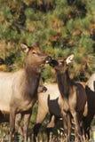Alces e vitela da vaca Imagem de Stock Royalty Free