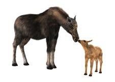 Alces e vitela fêmeas Imagens de Stock Royalty Free
