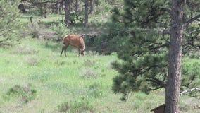Alces em Estes Park, CO Foto de Stock Royalty Free
