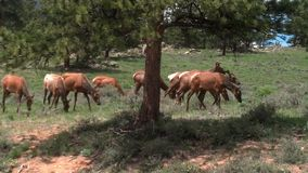 Alces em Estes Park, CO Fotos de Stock Royalty Free