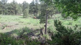 Alces em Estes Park, CO Fotografia de Stock