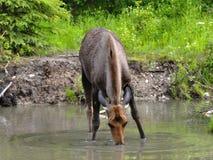 Alces em um lago Fotografia de Stock Royalty Free