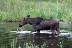 Alces em uma lagoa Fotografia de Stock Royalty Free