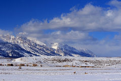 Alces en campo de nieve delante del Tetons magnífico según lo visto de refugio de los alces en Jackson Hole Wyoming Imágenes de archivo libres de regalías