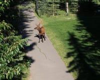 Alces en el Central Park de Banff Fotografía de archivo libre de regalías