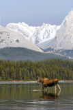Alces en las montañas Fotos de archivo