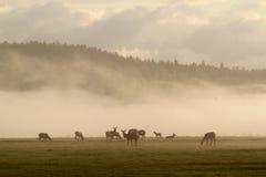 Alces en niebla Foto de archivo libre de regalías