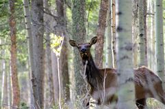 Alces femeninos salvajes cuidadosos de la vaca que ocultan en el bosque imagenes de archivo