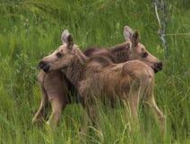 Alces gemelos del bebé que se colocan en un campo Foto de archivo