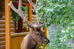 Alces grandes del toro que comen las hojas foto de archivo libre de regalías