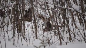 Alces grandes y becerro marrones hermosos que descansan en bosque frío profundo del invierno en el desierto del Círculo Polar Árt almacen de video