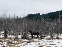Alces hambrientos en Alaska imagen de archivo