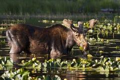 Alces jovenes de Bull Fotografía de archivo