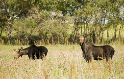 Alces jovenes de Bull Foto de archivo libre de regalías