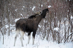 Alces jovenes en un bosque del invierno Fotografía de archivo