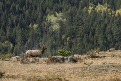 Alces majestosos de Bull Foto de Stock