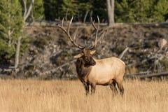 Alces majestosos de Bull Foto de Stock Royalty Free