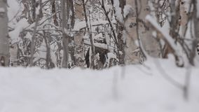 Alces marrones hermosos grandes que descansan en bosque frío profundo del invierno en el desierto y los paseos del Círculo Polar  metrajes