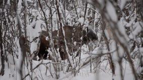 Alces marrones hermosos grandes que descansan en bosque frío profundo del invierno en el desierto y los paseos del Círculo Polar  almacen de metraje de vídeo