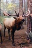 Alces masculinos na floresta Foto de Stock Royalty Free
