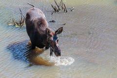 Alces na água Foto de Stock Royalty Free