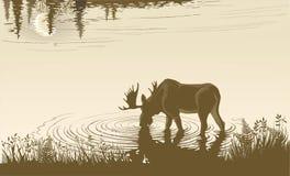 Alces na água potável Imagem de Stock