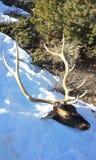 Alces na neve do inverno Imagens de Stock