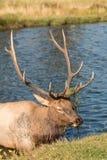 Alces no cio de Bull no córrego Foto de Stock Royalty Free