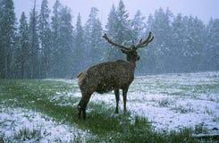 Alces no inverno Imagens de Stock