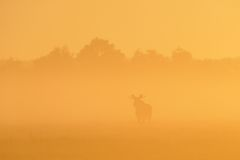 Alces no nascer do sol Fotografia de Stock Royalty Free