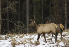 Alces no parque nacional de Banff, Alberta Fotografia de Stock Royalty Free