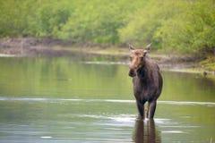 Alces no rio Imagem de Stock