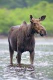 Alces no rio Fotografia de Stock Royalty Free