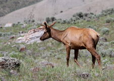 Alces novos de Bull Fotografia de Stock Royalty Free
